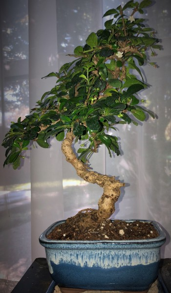 Elegant bonsai